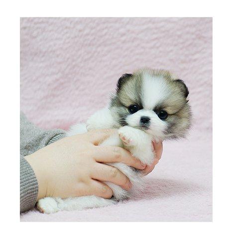 Tiny Teacup Pomeranian male and female puppies • johannesburg