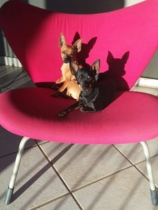 Miniature Pinschers - Cullinan - Gauteng #026999471743